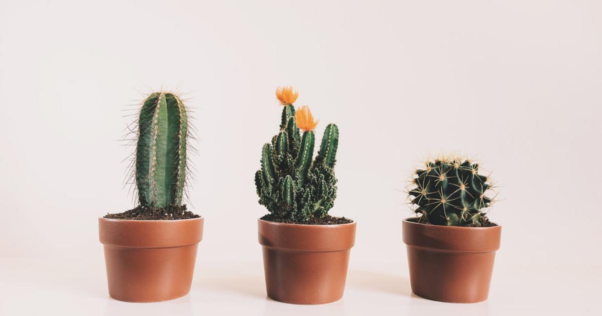 Olio di cactus: un elisir di bellezza che non conoscevi