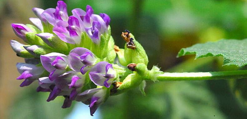bakuchiol-fiore