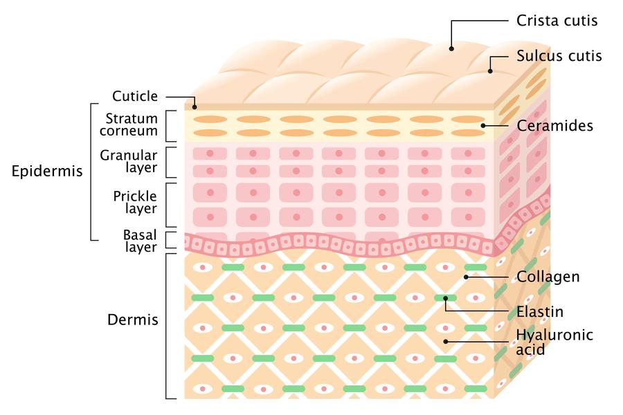Strati della pelle epidermide